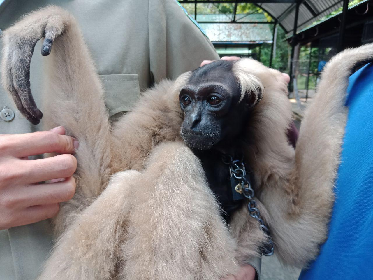 Endangered gibbon rescued thanks to Facebook community