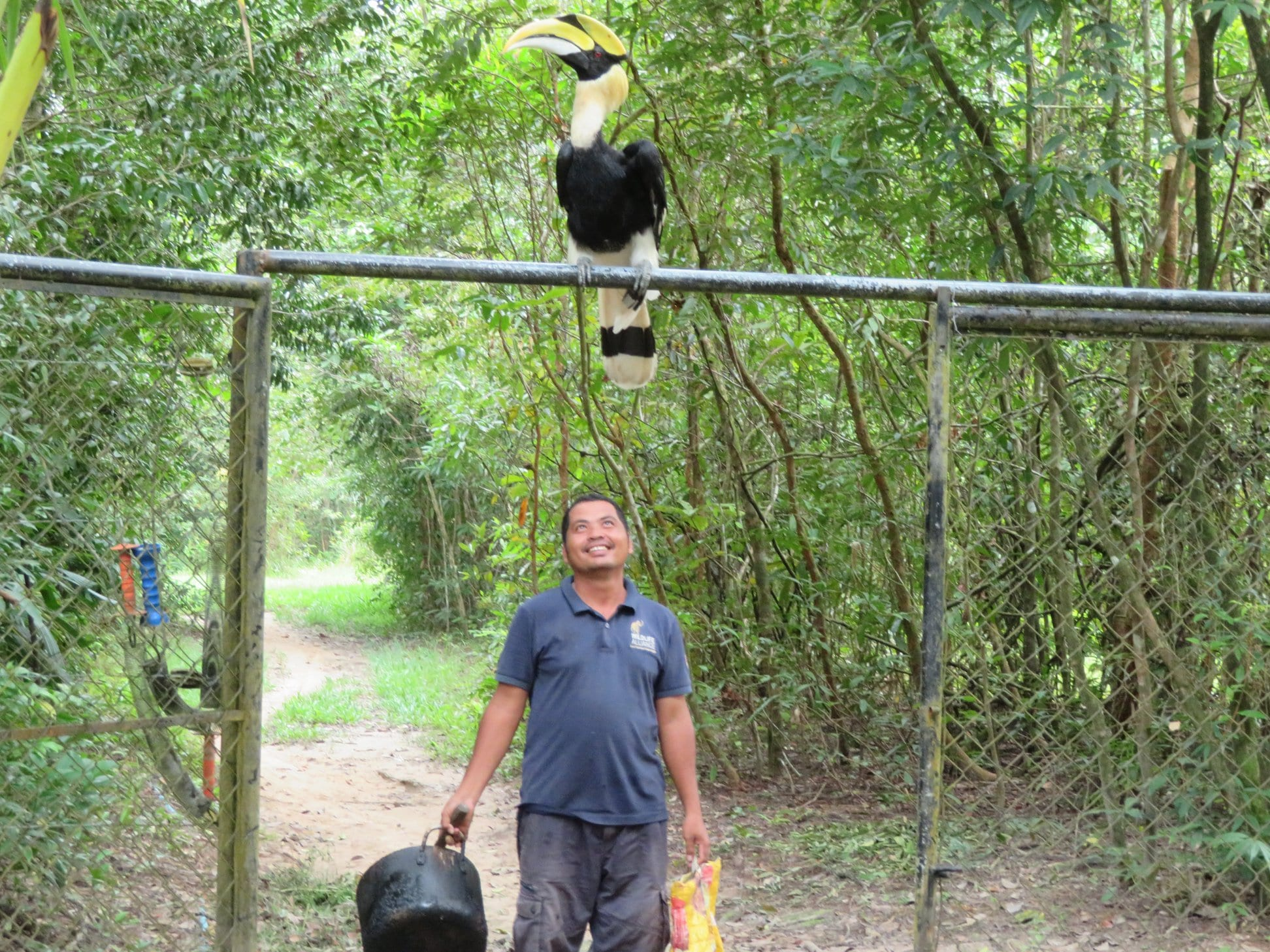 Great hornbill enjoys a slow transition to a life in the wild