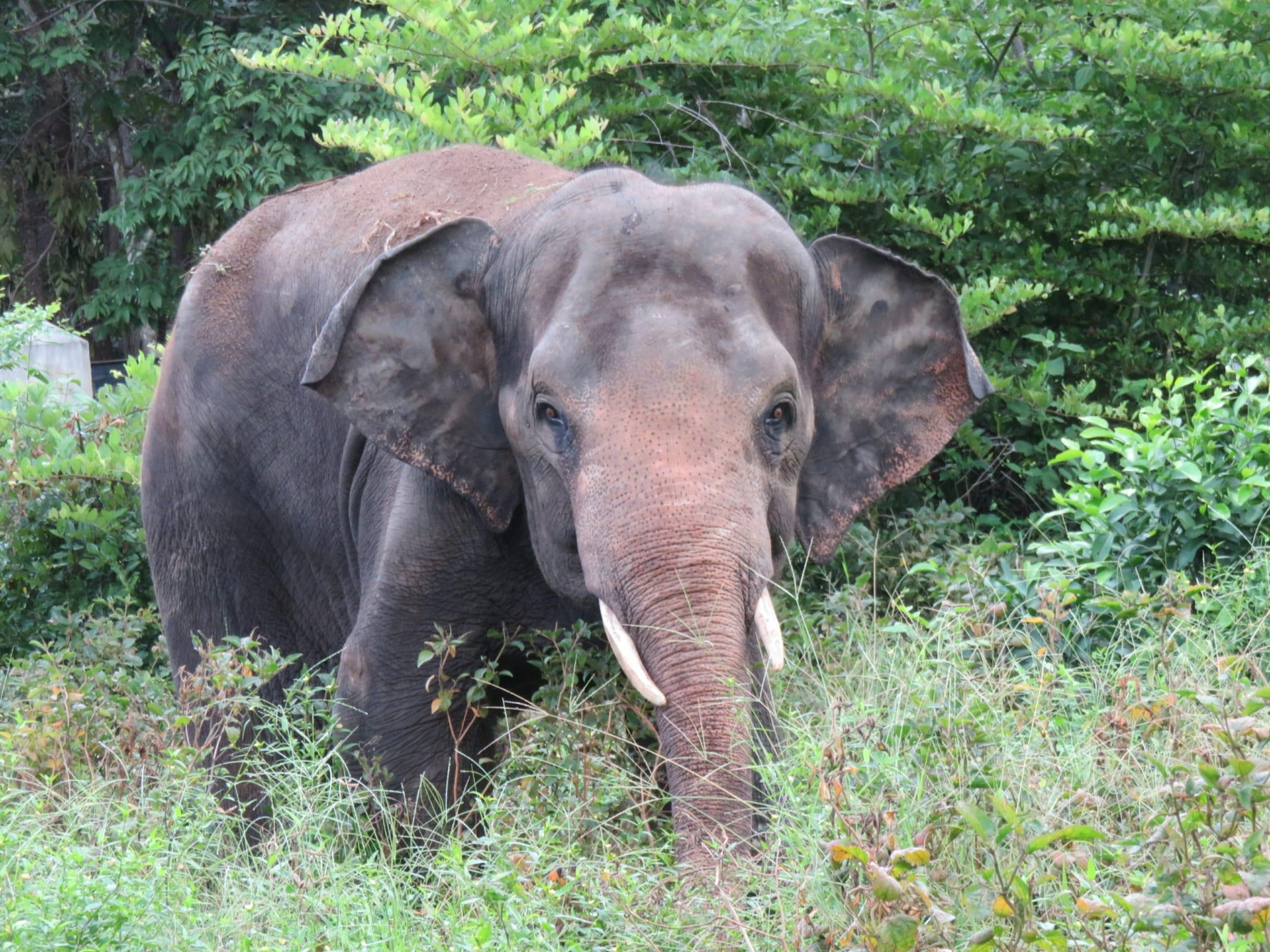 Chhouk the elephant gets a new prosthetic