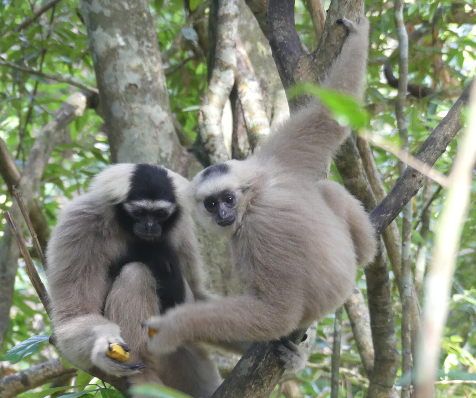 Primate Pileated Gibbon pair Angkor Wat landscape release program Wildlife Alliance Apsara Authority Forestry Administration Cambodia