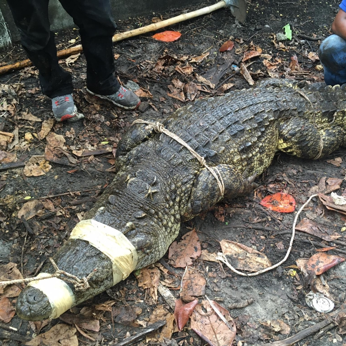 Crocodiles rescued in Koh Kong province