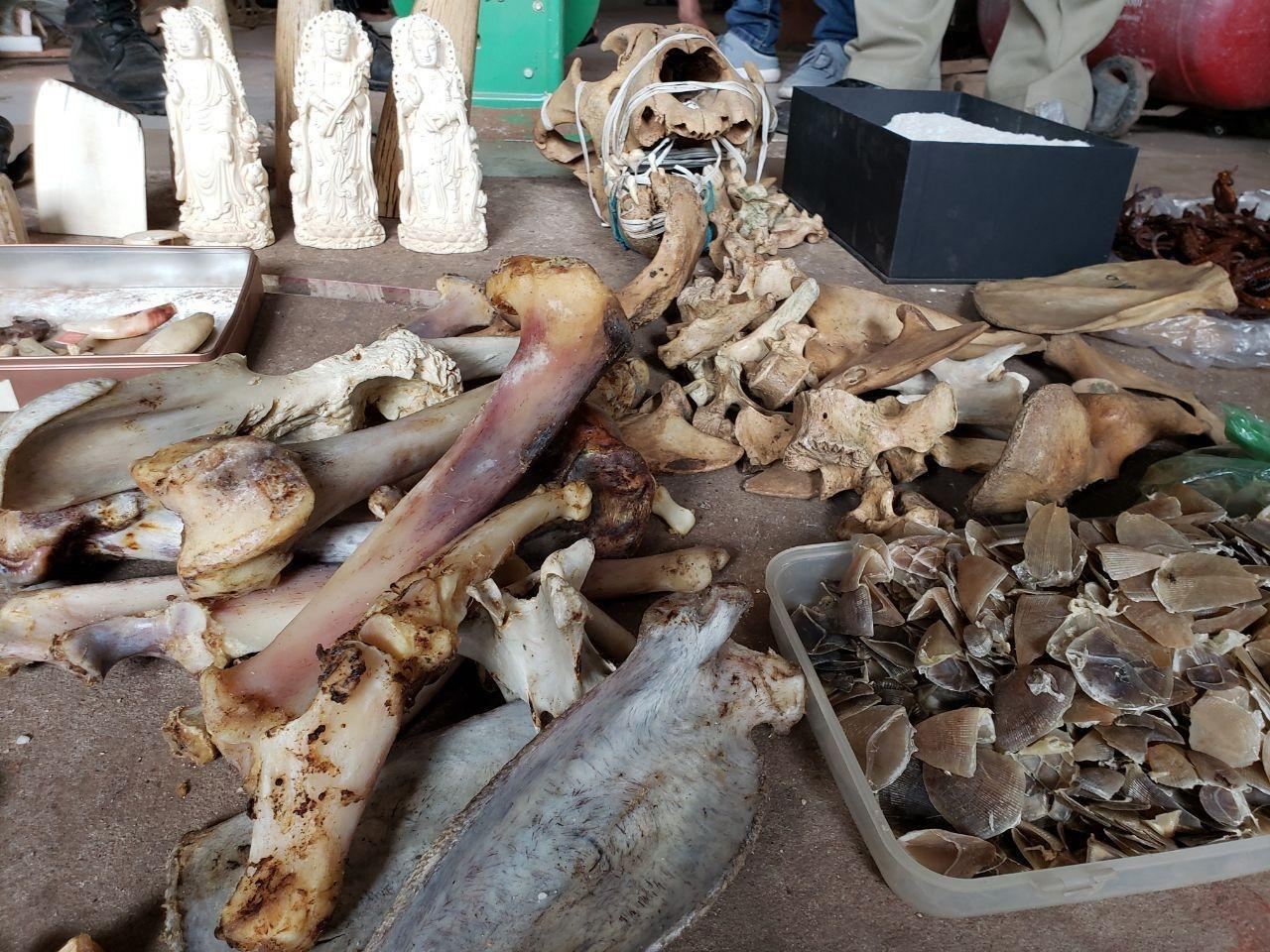 Ivory and pangolins: The dark underbelly of Cambodia's wildlife trade