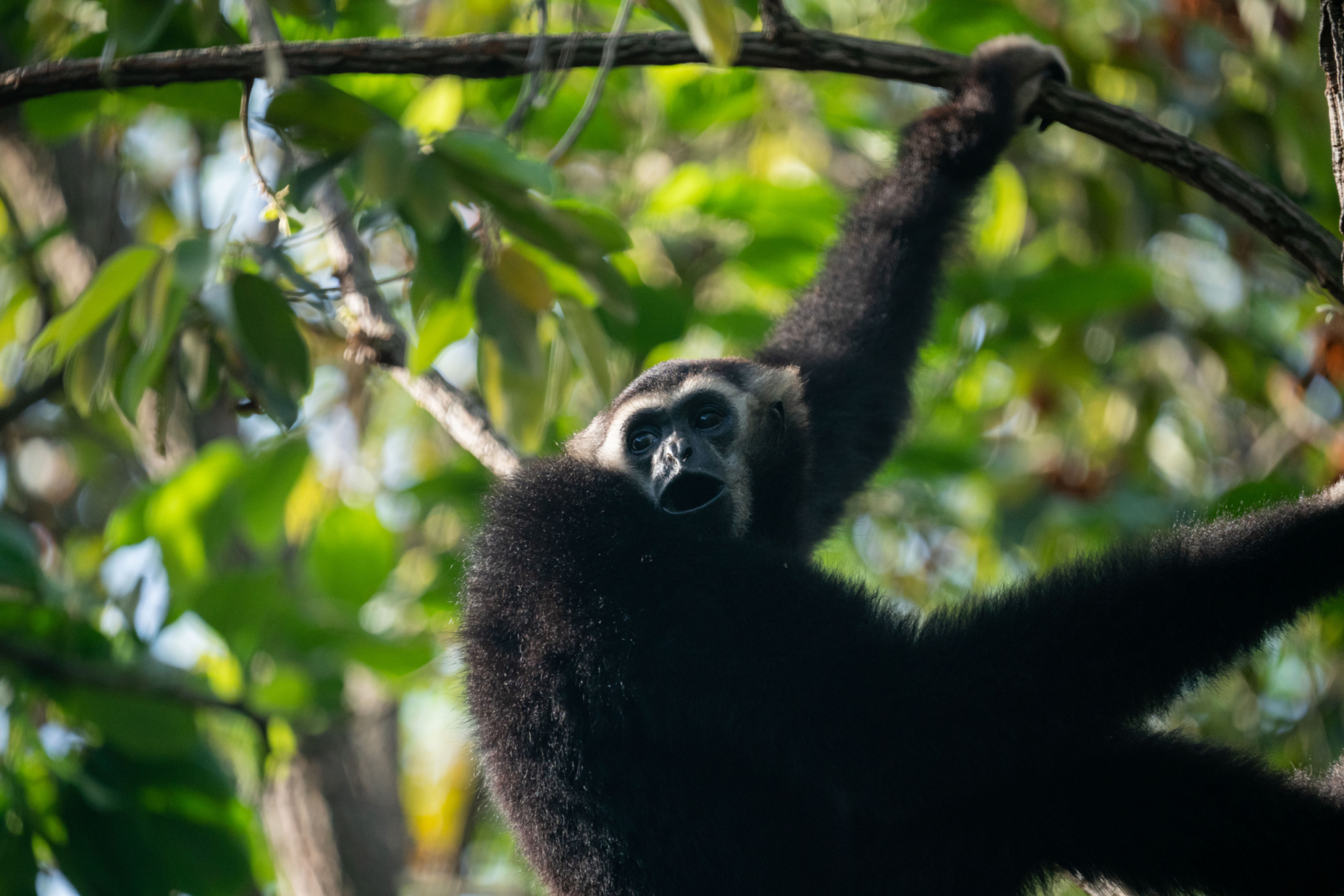 Gibbons released into Angkor wat