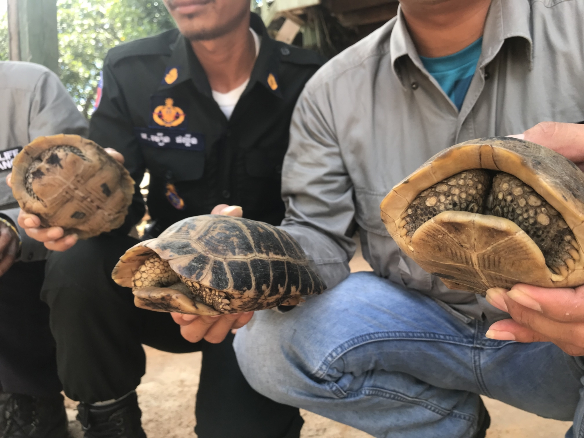 Critically Endangered elongated tortoises saved by rangers