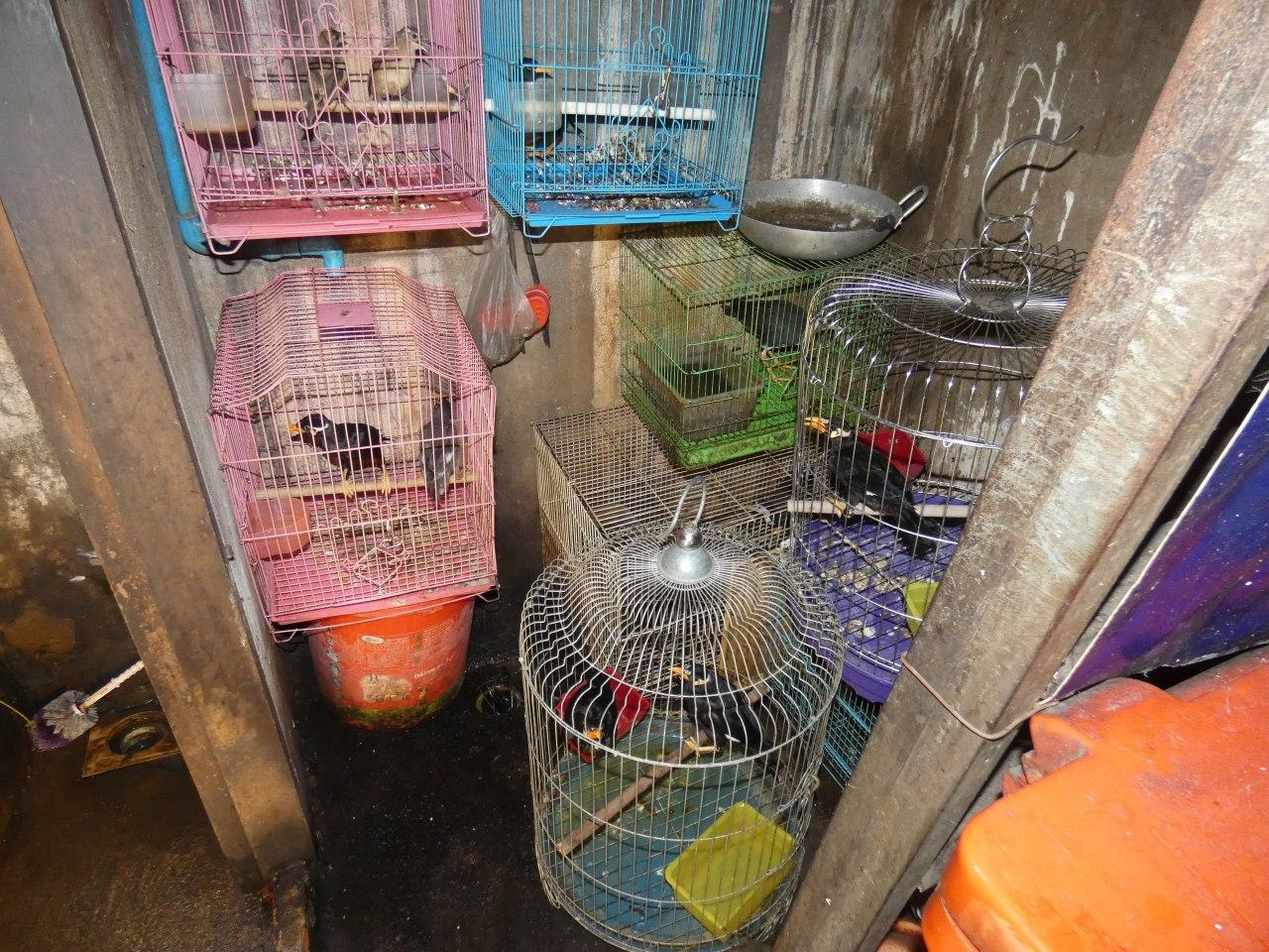 Myna birds confiscated by Wildlife Alliance from wildlife traffickers