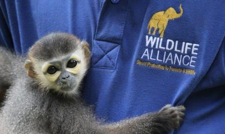 Douc Langur animal rescued from the illegal wildlife trade in Cambodia