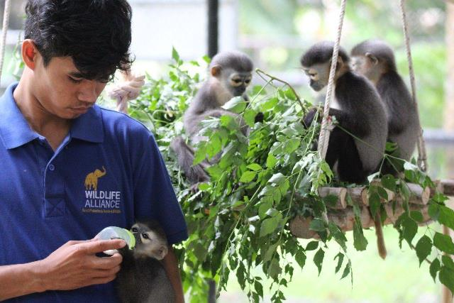 Douc langur,a rare primate, being bottle fed by wildlife rescue and care keeper in Cambodia