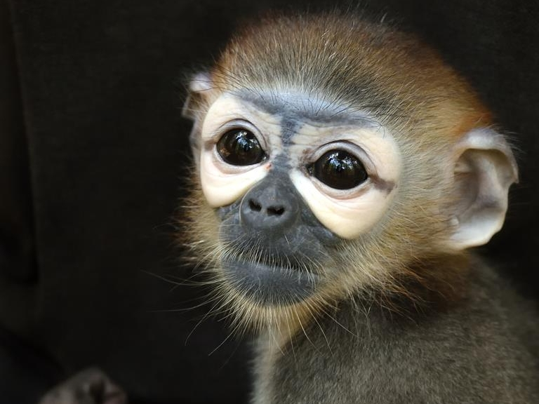 Portrait of a juvenile black-shanked douc langur that are frequently a victim to Cambodia's illegal wildlife trade