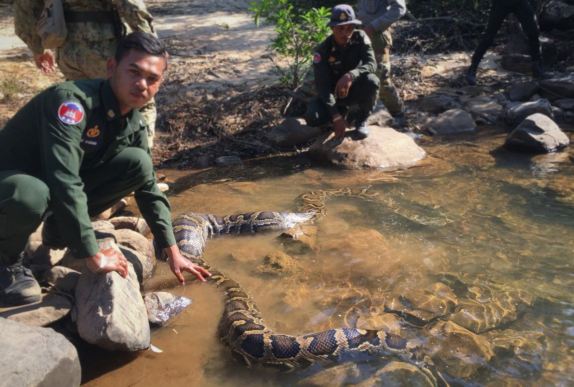 Rangers rescue record breaking Burmese python