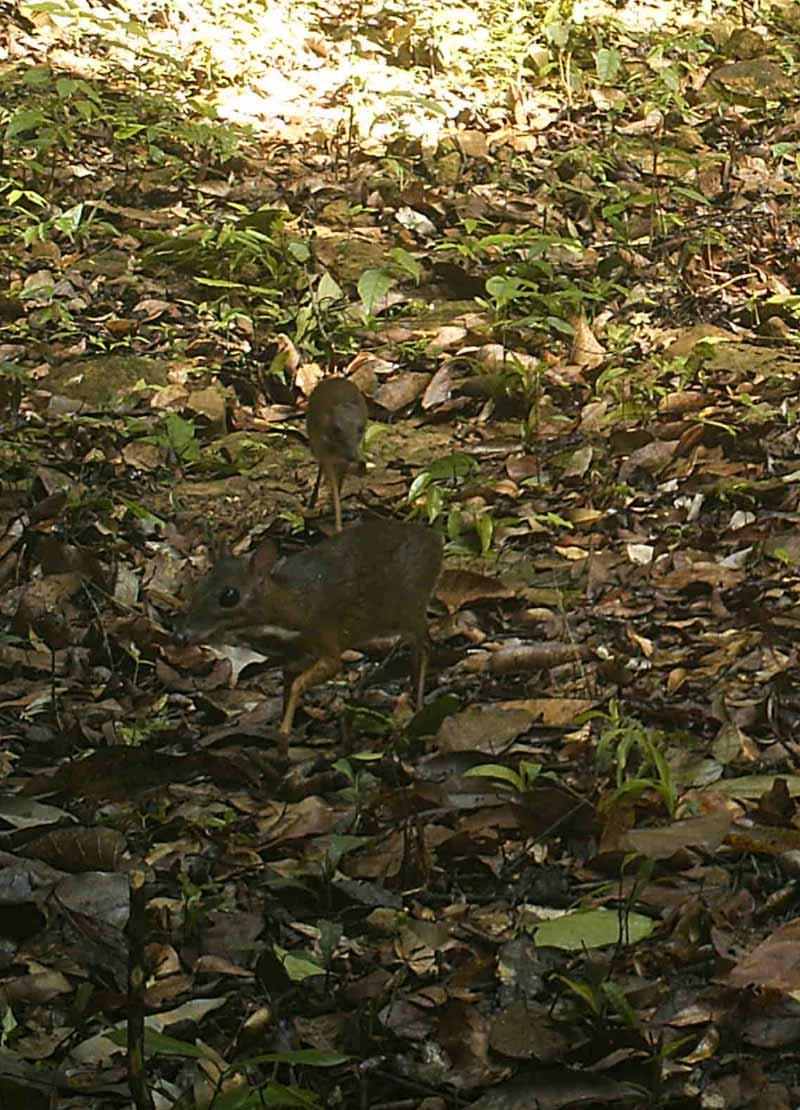 Wildlife Alliance camera trap - Cardamom Mountains - Chevrotain