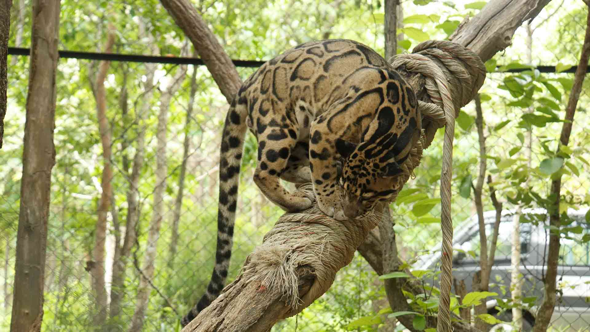 Clouded Leopards are expert climbers. They can climb down trees headfirst and even climb upside down.