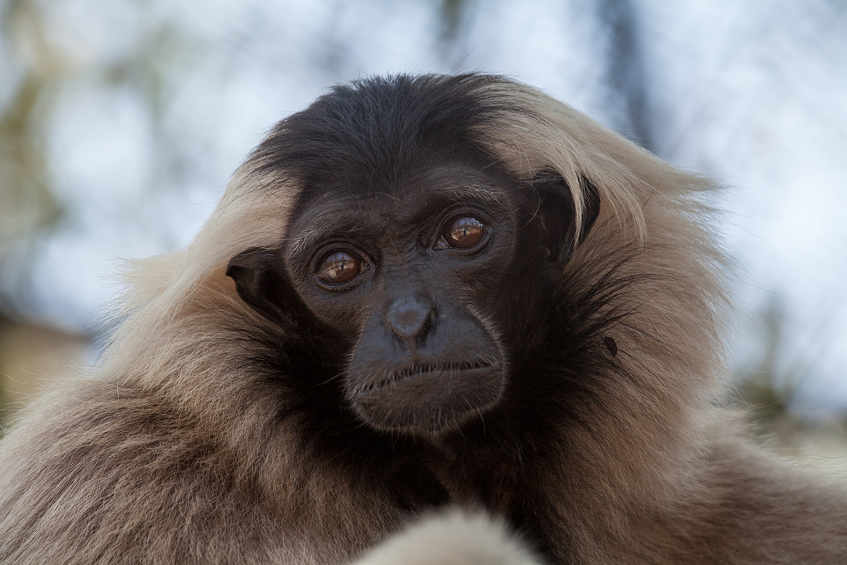 In Pileated Gibbon family groups, females are dominant at Phnom Tamao Wildlife Rescue Centre and Zoo Cambodia
