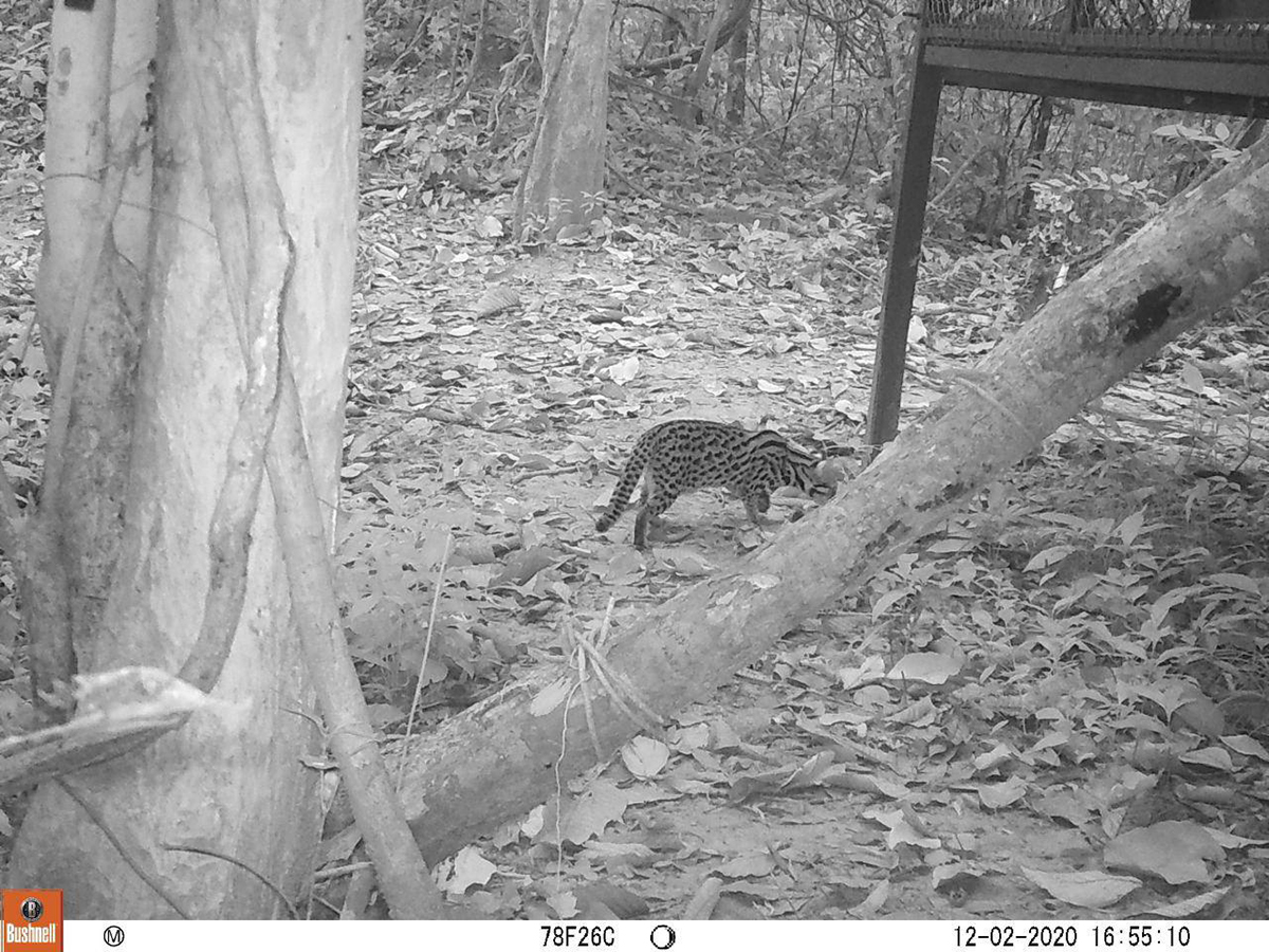 Leopard cat camera trap at Angkor Protected Forest by Wildlife Alliance in December 2020