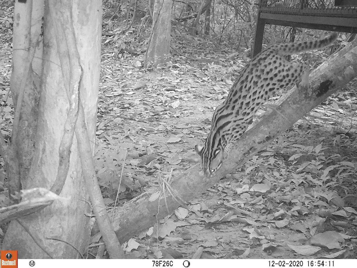 Leopard cat camera trap released at Angkor Protected Forest by Wildlife Alliance in December 2020