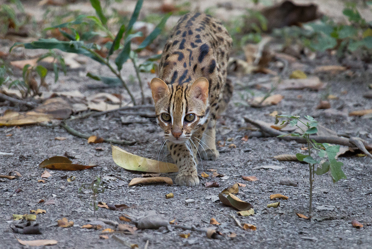Leopard cat closeup released at Angkor Protected Forest by Wildlife Alliance in December 2020