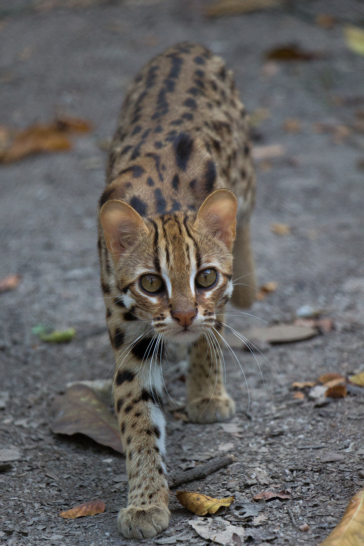 Leopard cat midshot Angkor Protected Forest by Wildlife Alliance in December 2020