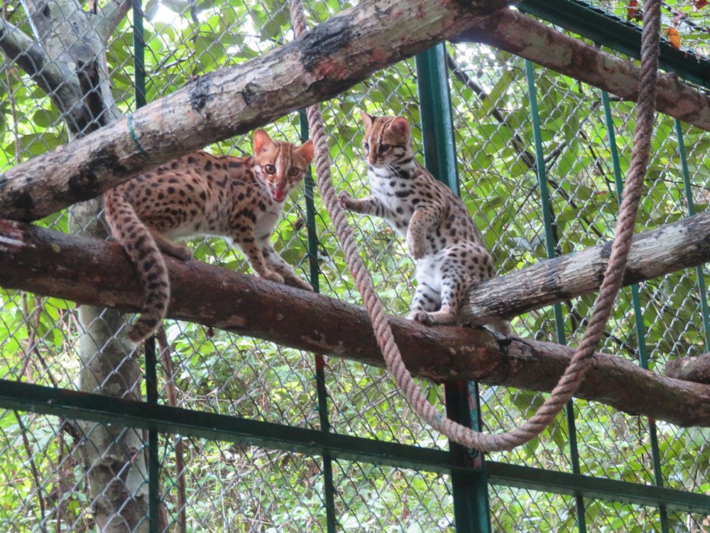 Leopard cat pair pre release at Angkor Protected Forest by Wildlife Alliance in December 2020