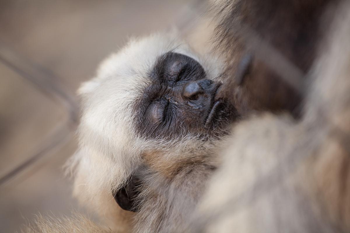 Pileated gibbon baby Santamea born at Phnom Tamao Wildlife Rescue Centre and Zoo Cambodia