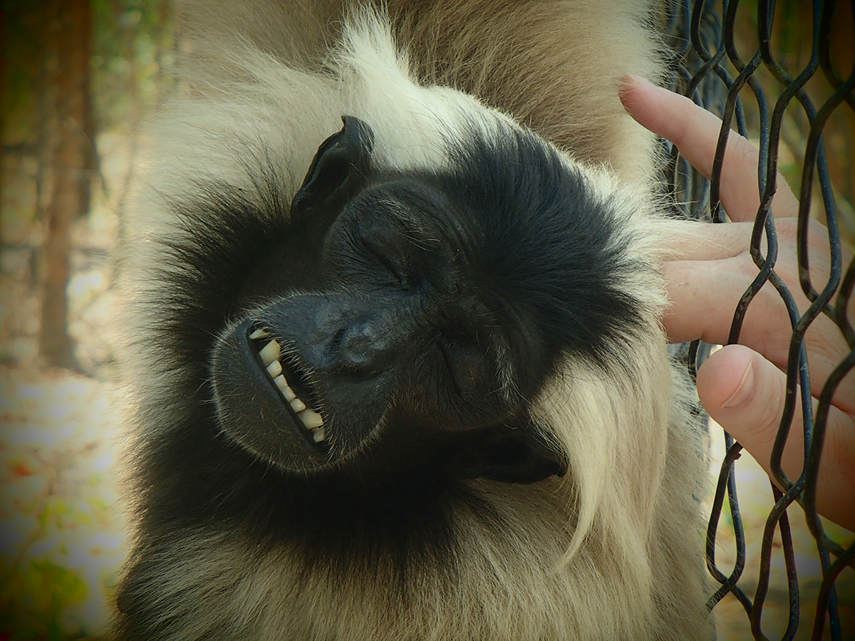 Pileated gibbon socialised with humans no fear of humans at Phnom Tamao Wildlife Rescue Centre and Zoo Cambodia