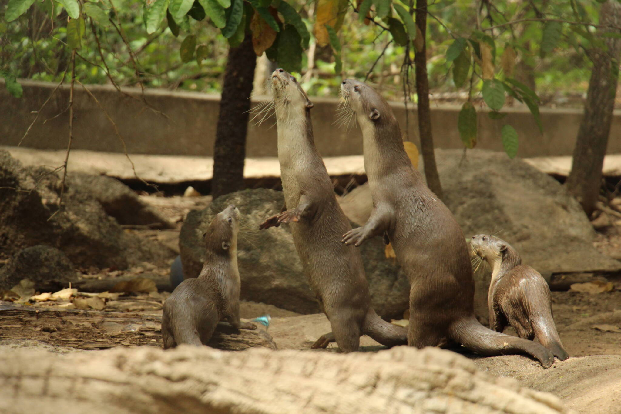 Smooth-coated otter pair released at Angkor Protected Forest, have 2 pups Wildlife Alliance