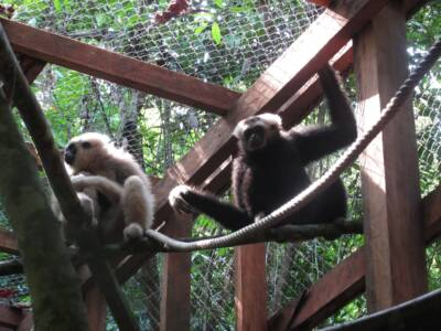 The next pair of Pilated Gibbons in their acclimatisation enclosure before release