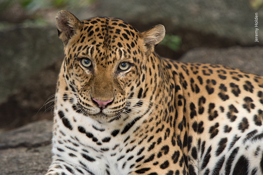 Asiatic or Indochinese Leopard closeup Phnom Tamao Wildlife Rescue Centre Cambodia Wildlife Alliance Jeremy Holden small