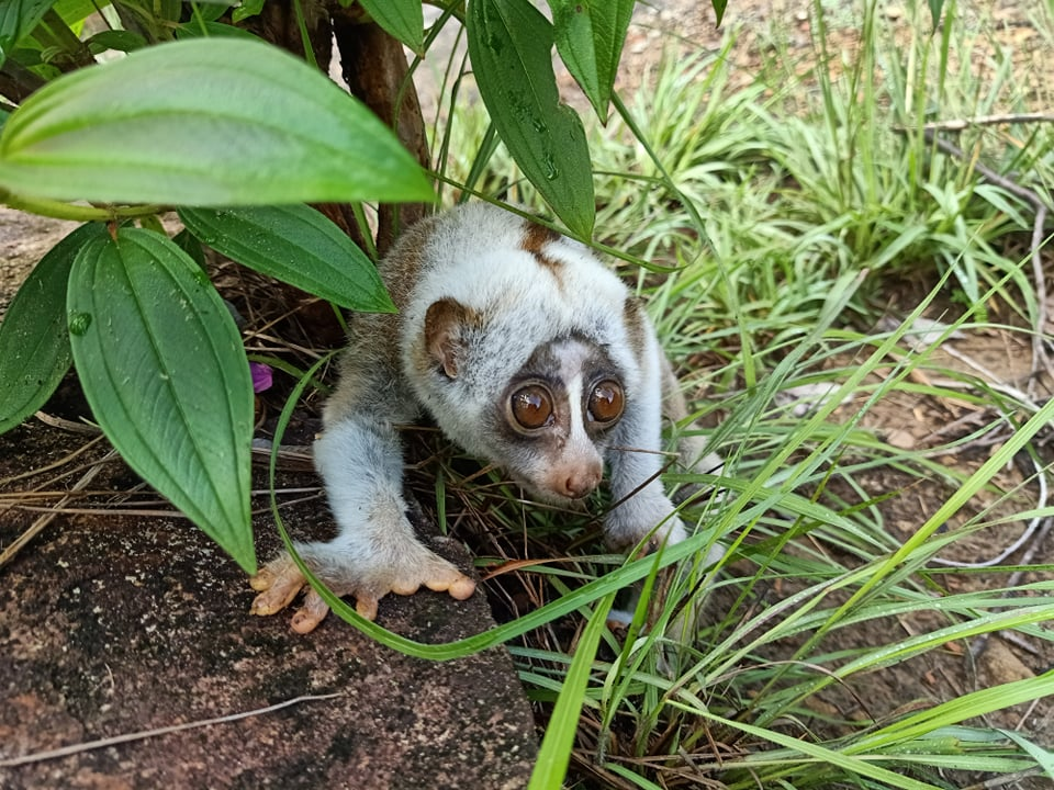 Rangers rescue a Slow Loris, the only venomous primate in the world!