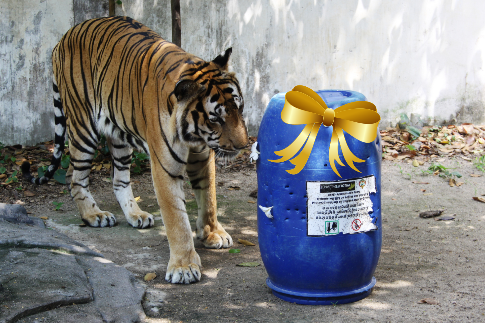 Tiger with barrel enrichment Wildlife Alliance Cambodia Phnom Tamao Wildlife Rescue Centre git bow Mother's Day 2021