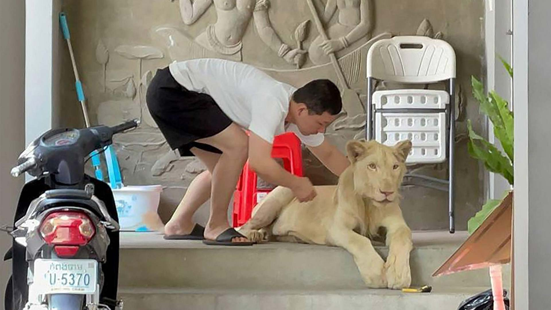 Pet lion seized by Phnom Penh authorities with Wildlife Alliance