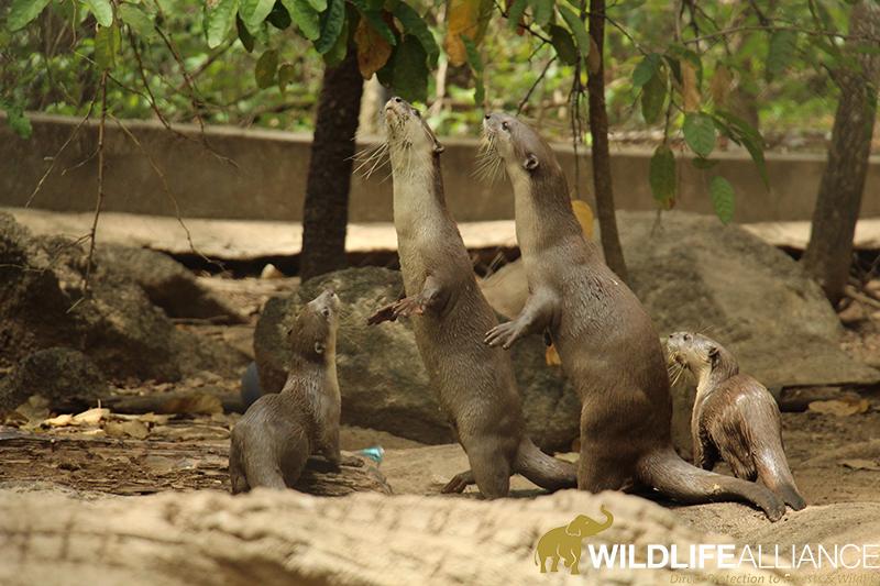 Smooth Coated Otter Leng Family at Phnom Tamao Wildlife Rescue Centre Cambodia Wildlife Alliance w800
