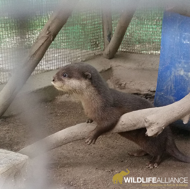 Smooth-coated otter pup growing up at Phnom Tamao Wildlife Rescue Centre Cambodia w800 watermarked