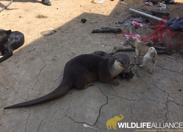 Smooth coated otter rescue from pet in kampong thom province Cambodia Wildlife Alliance w800