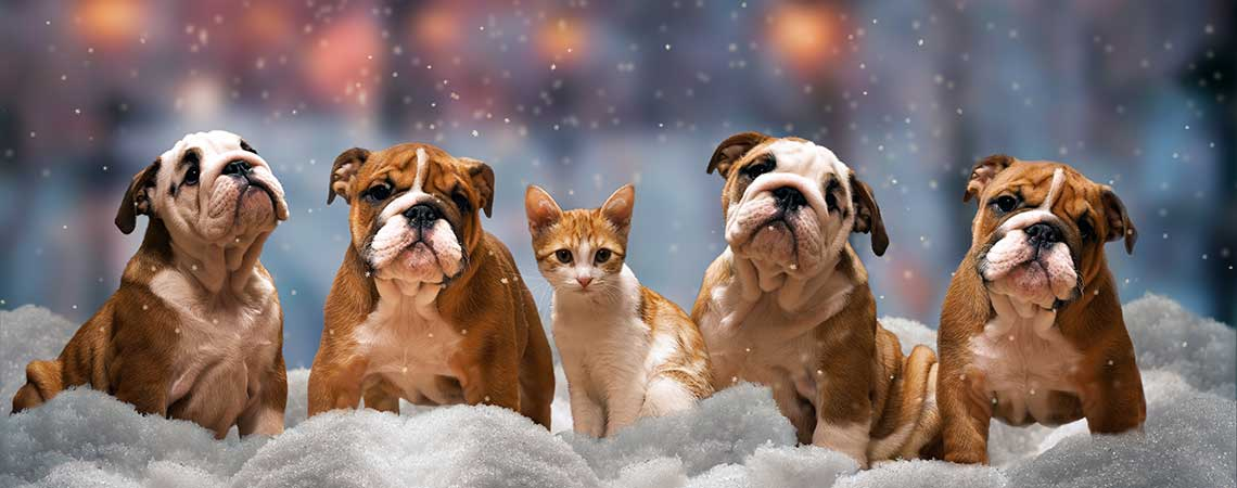 Bulldog with Cat in the Snow