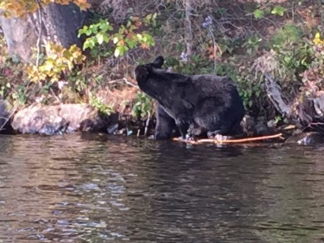 Late season shot of a black bear going after overripe apples on the north shore of seventh lake.