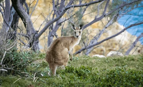 Cómo convivir con canguros en Australia