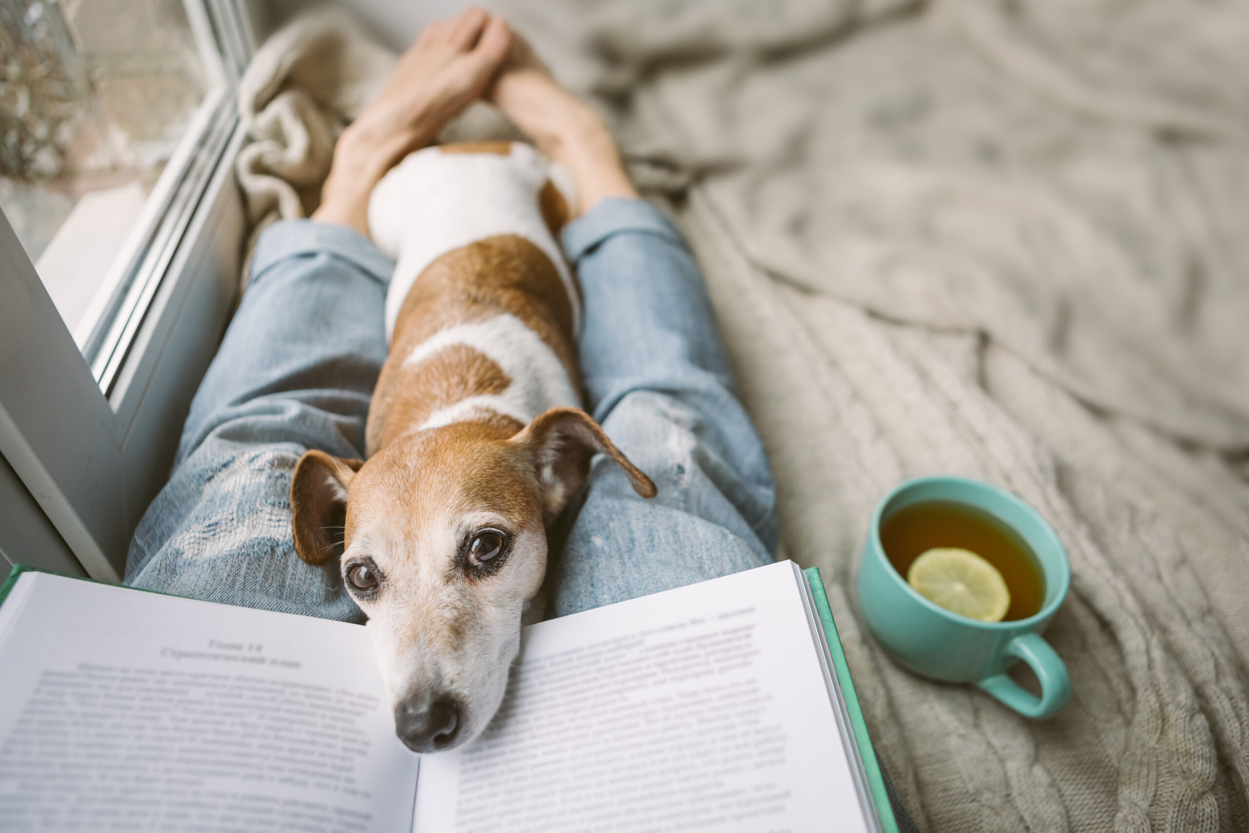 Reading at home with pet Jack Russell terrier. Cozy home weekend with interesting book, dog and hot tea. Beige and blue. Chilling mood