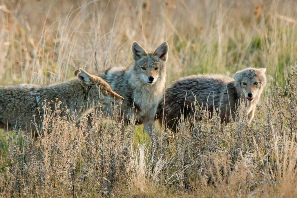 Alpha pair of coyotes with female pup