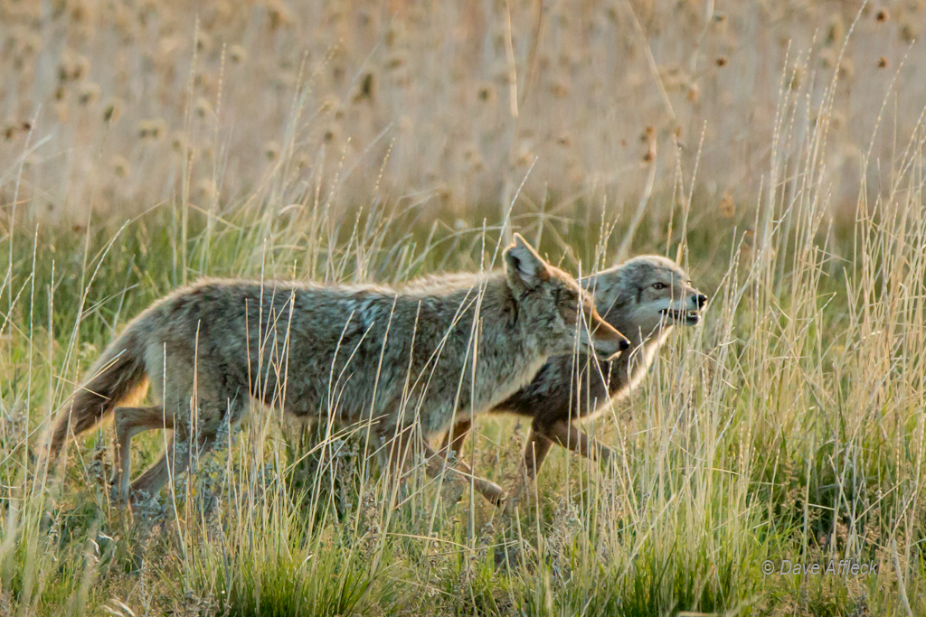 Mother and daughter coyote, note submissive posture of young coyote