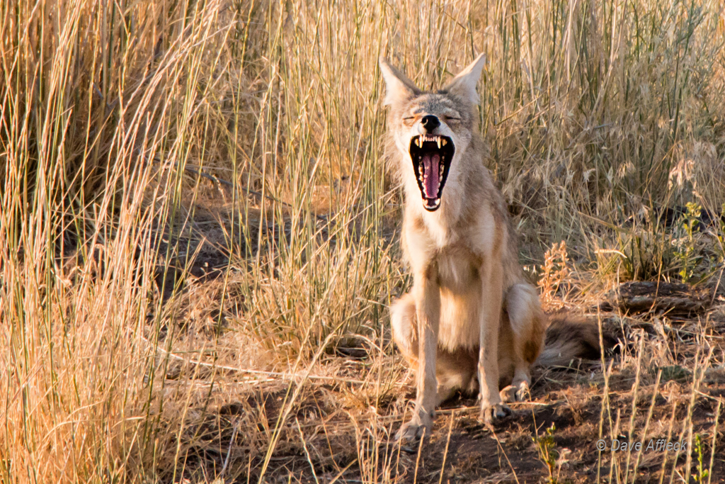 Young female coyote howling