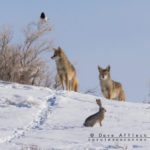 Two coyotes a magpie and a jackrabbit walk into a bar...