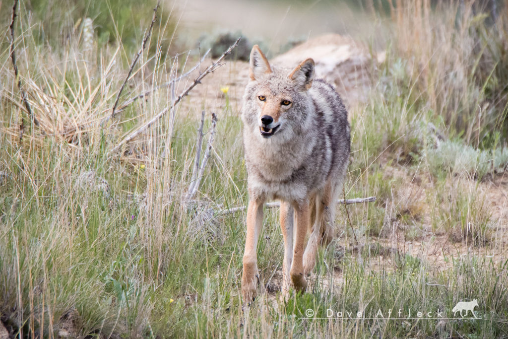 Alpha Male Coyote Running In