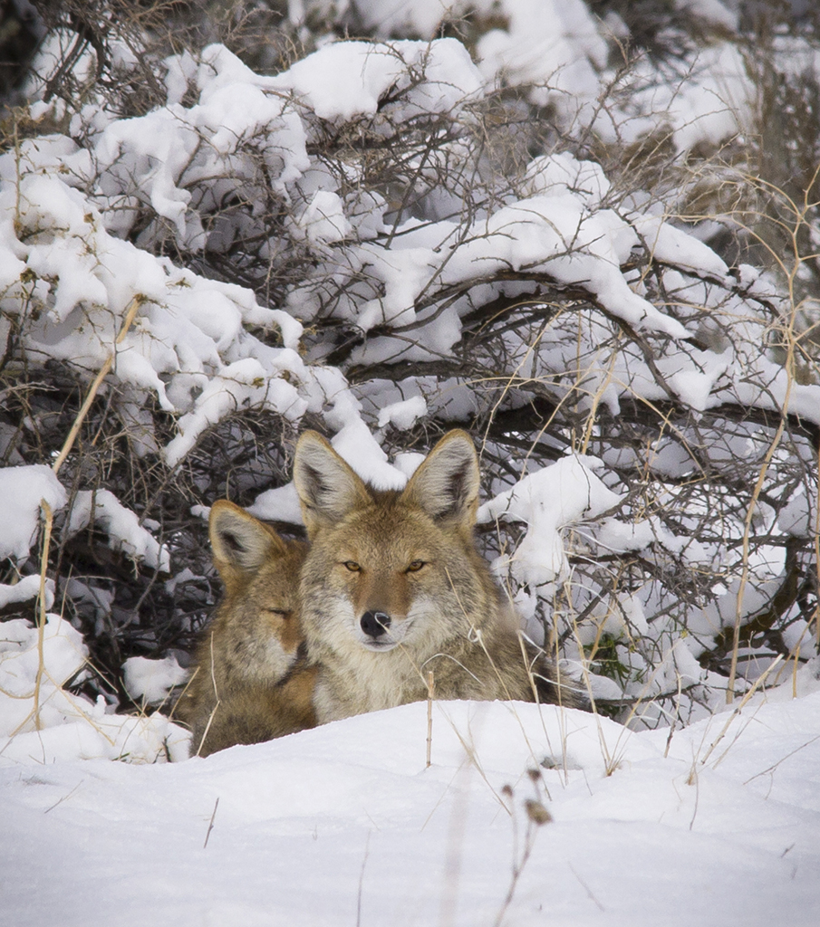 Pair of coyotes bedded down in snow