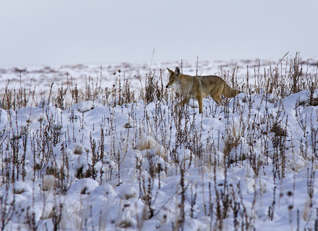Alpha male coyote responding to howls