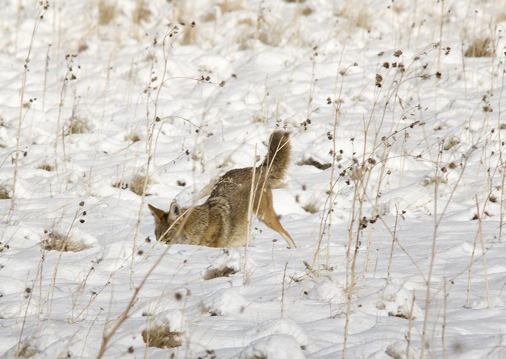Coyote catching rodent under snow