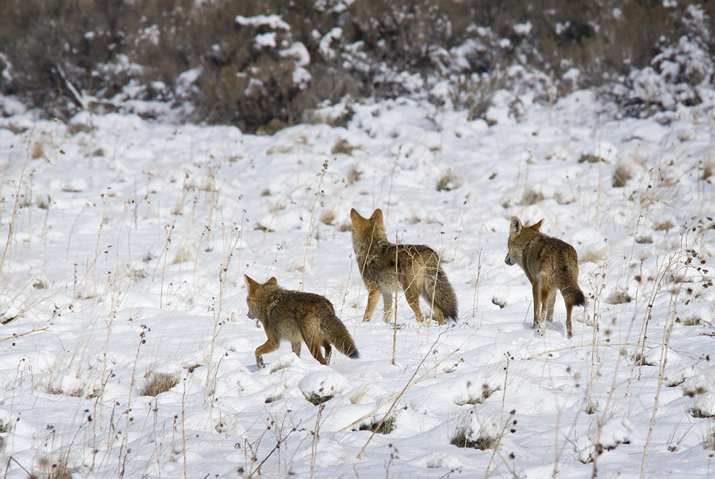 Coyote family going hunting