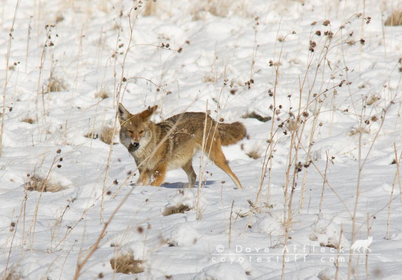 Coyote eating mouse