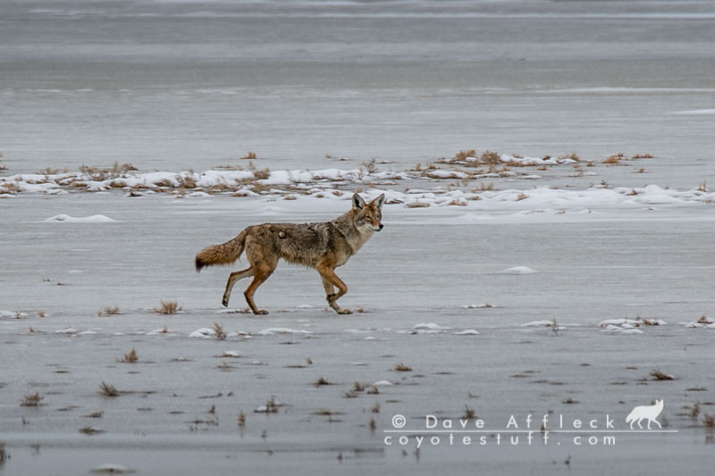 Coyote Basic Instincts -  A Coyote Is A Coyote!