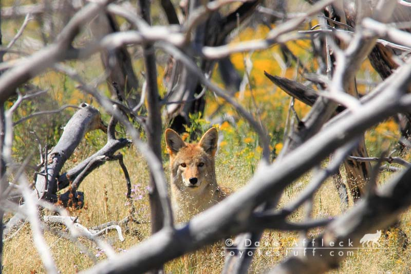 Coyote behavior applied to coyote calling