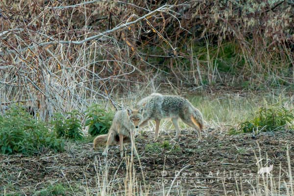 Territorial mated coyote pair engaged in marking behavior