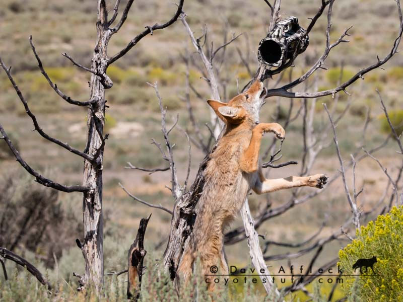Coyote smelling foxpro call